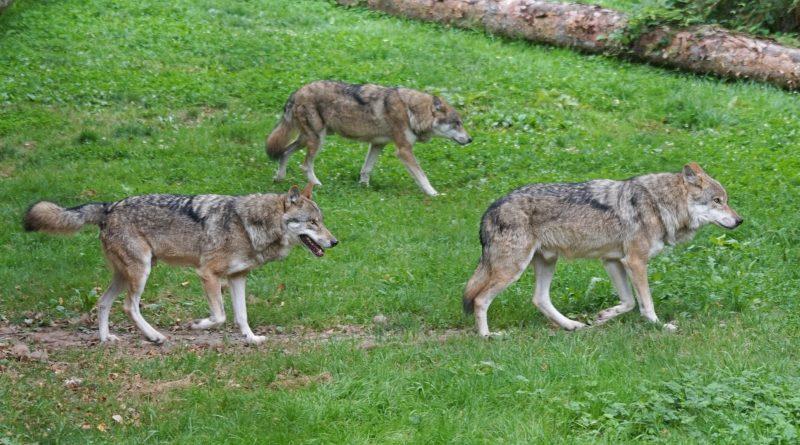 Swarzędz chce odstrzału wilków