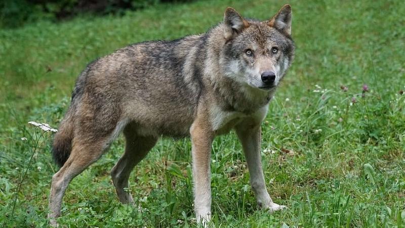 Odstrzał wilków w gminie Swarzędz